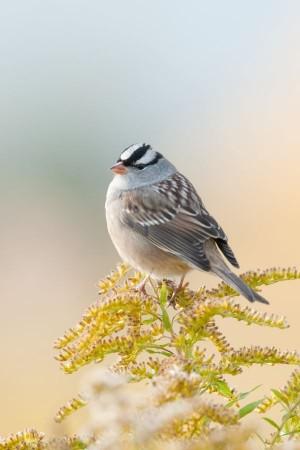 White-crowned Sparrow - Treman Marine Park, Ithaca, NY