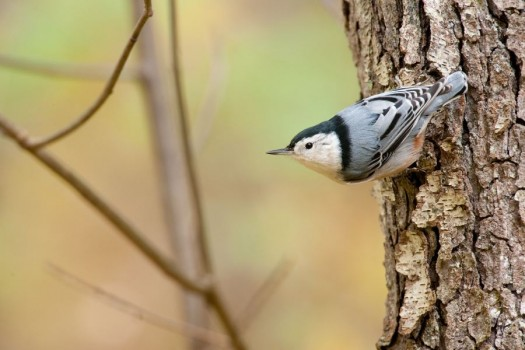 White-breasted Nuthatch - Gorge Trail, Finger Lakes National Forest, NY