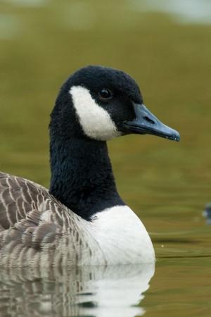 Canada Goose - Stewart Park, Ithaca, NY