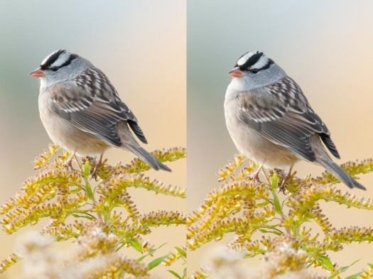 Notice the difference in the angle of the birds head between these two images.