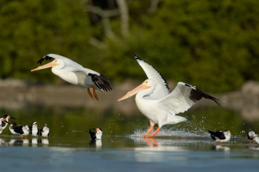 American White Pelican (Pelecanus erythrorhynchos) - Everglades National Park, Florida