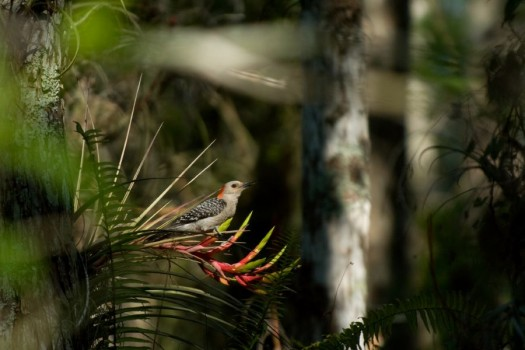 Red-bellied Woodpecker - Everglades National Park, Florida