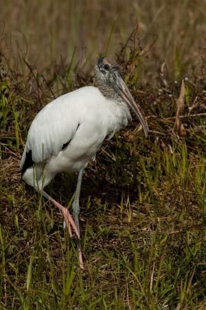 Wood Stork (Mycteria americana) - Anhinga Trail, Everglades National Park, Florida