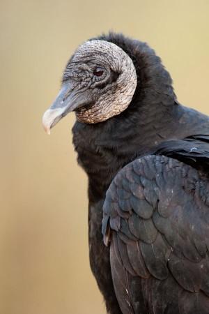 Black Vulture (Coragyps atratus) - Anhinga Trail, Everglades National Park, Florida