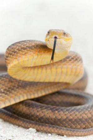 Yellow Rat Snake (Elaphe obsoleta quadrivittata) - Turner River Road, Big Cypress National Preserve, Florida