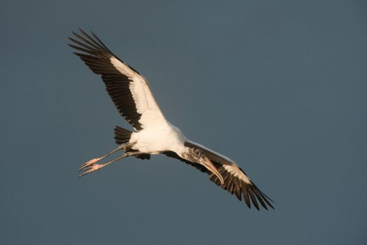Wood Stork (Mycteria americana) in Flight - Anhinga Trail, Everglades National Park, Florida