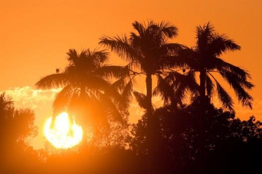 Florida Royal Palms (Roystonea elata) at Sunset - Royal Palm, Everglades National Park, Florida