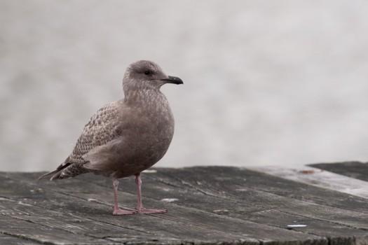 Thayer's Gull (Larus thayerii) - Allan H. Treman Marine State Park, Ithaca, New York,