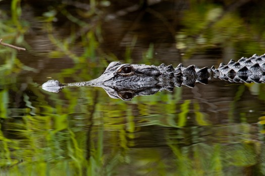 American Alligator (Alligator mississippiensis) - Big Cypress National Preserve, Florida