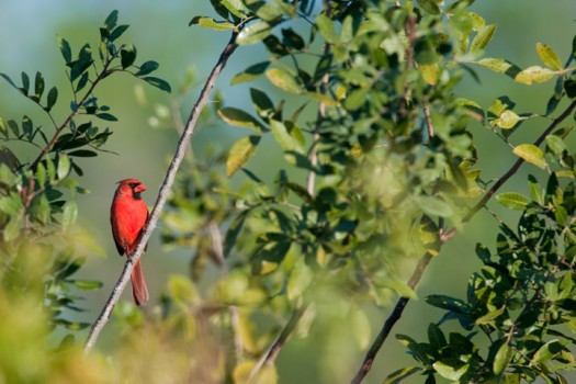 Northern Cardinal (Cardinalis cardinalis) - Picayune Strand State Forest, Florida