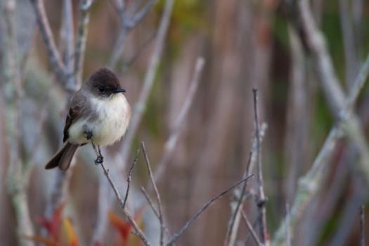 Eastern Phoebe (Sayornis phoebe) - Anhinga Trail, Everglades National Park, Florida