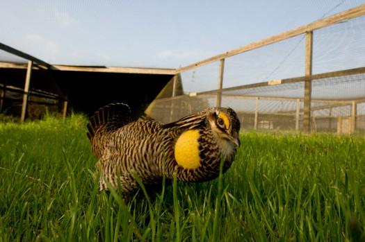 Captive Attwater's Prairie Chicken (Tympanachus cupido attwateri) - College Station, Texas