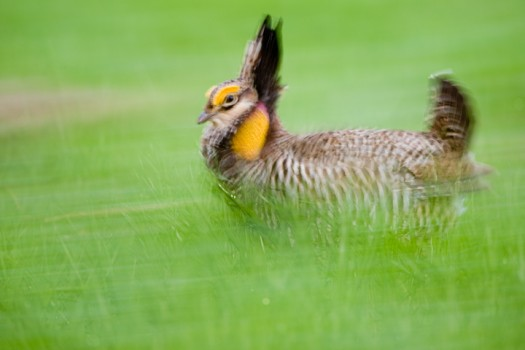 Captive Attwater's Prairie Chicken (Tympanachus cupido attwateri) - Texas A&M University, Texas