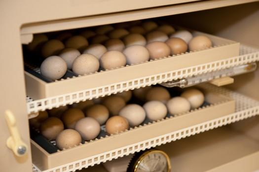 Attwater's Prairie Chicken eggs - Houston Zoo, Texas
