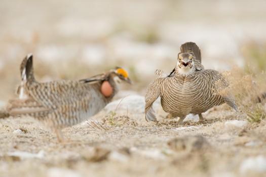 Lesser Prairie Chickens (Tympanuchus pallidicinctus) in a standoff - Milensand, New Mexico