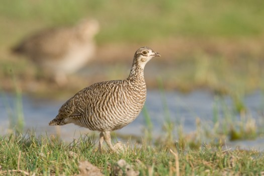 Female Lesser Prairie Chicken (Tympanuchus pallidicinctus) - Milnesand, New Mexico