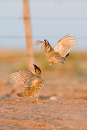 Lesser Prairie Chickens (Tympanuchus pallidicinctus) beginning a fight - Milensand, New Mexico