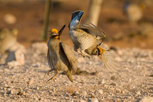 Lesser Prairie Chickens (Tympanuchus pallidicinctus) fighting - Milensand, New Mexico