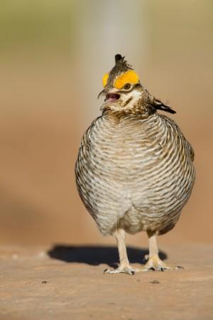 Lesser Prairie Chicken (Tympanuchus pallidicinctus) - Milnesand, New Mexico