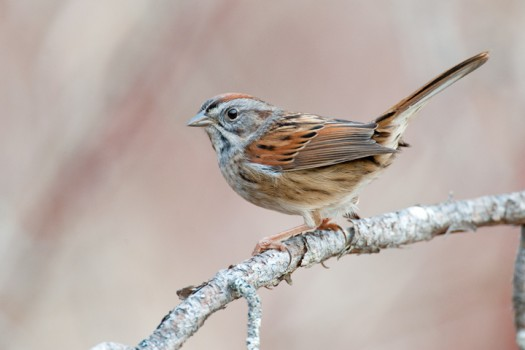 Swamp Sparrow (Melospiza georgiana) - Summerhill State Forest, New York