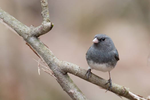 Dark-eyed Junco (Junco hyemalis) - Summerhill State Forest, New York