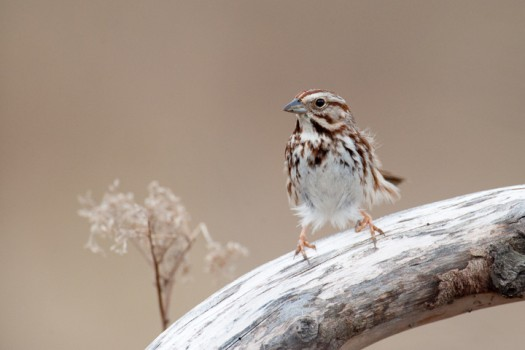 Song Sparrow (Melospiza melodia) - Summerhill State Forest