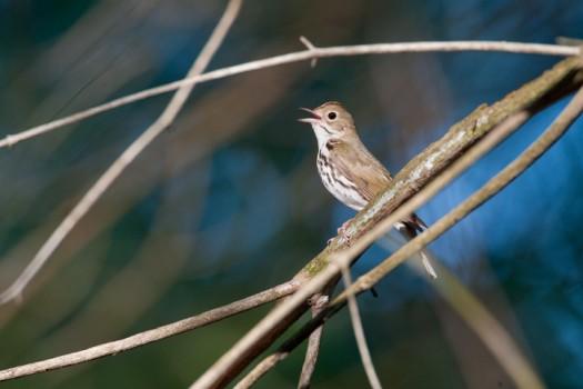 Singing Ovenbird (Seiurus aurocapillus) - Genung Preserve, Freeville, NY