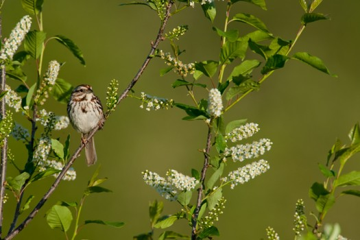 Song Sparrow (Melospiza melodia) - Foster Pond, Finger Lakes National Forest, New York