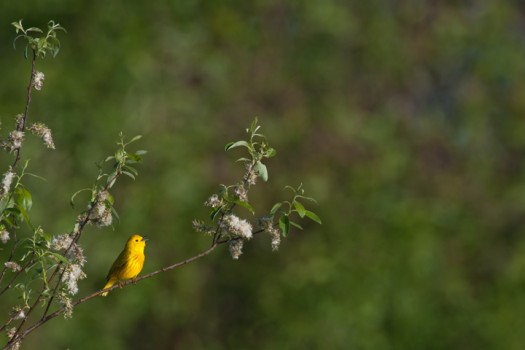 Yellow Warbler (Dendroica petechia) - Foster Pond, Finger Lakes National Forest, New York