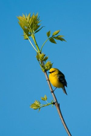 Blue-winged Warbler (Vermivora pinus) - Foster Pond, Finger Lakes National Forest, New York