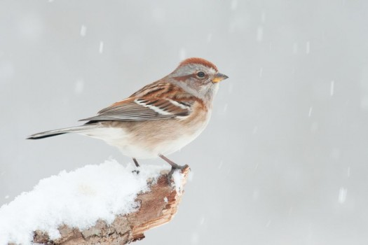 American Tree Sparrow in snow. Ithaca, New York