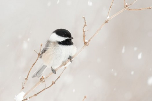Black-capped Chickadee in snow.  Ithaca, New York.